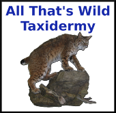 All That's Wild Taxidermy